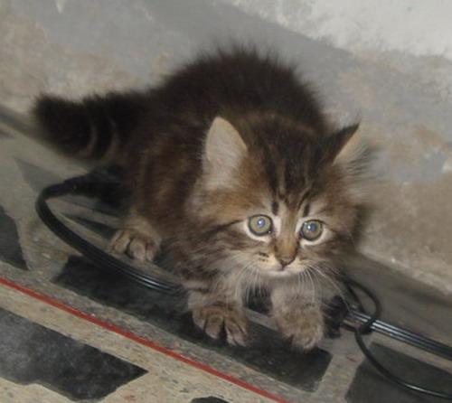 ขายลูกแมวเปอร์เซียผสม